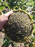 Высокоурожайный подсолнечник Жалон Гранд под Гранстар 50 грамм. Гибрид держит семь рас заразихи A-G. Стандарт, фото 4