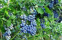 Голубика Патриот (Vaccinium corymbosum Patriot )