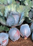 Семена Капусты краснокочанной Рокси F1 (Roxy F1) 2500 семян Seminis