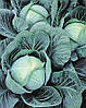 Семена капусты Галакси F1 (Galaxy F1) 2500 семян Seminis (Голландия)