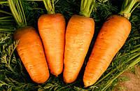 Семена Моркови Санта Круз F1 (Santa Cruz F1) 1000000 семян Seminis