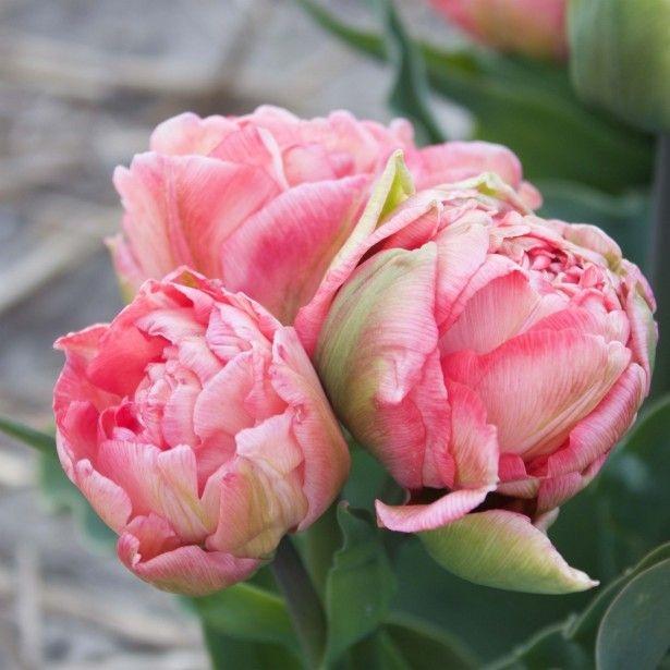 Тюльпан Sweet Amy 2 луковицы