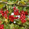 БАРБАРИС (BARBERRY vulgaris, семена)