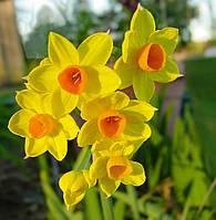 Нарцисс многоцветковый Grand Soleil d'or 2шт, фото 1