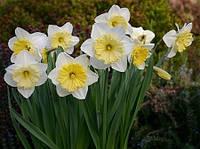 Нарцисс корончатый Ice folies, 2 луковицы, фото 1