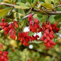 БАРБАРИС (BARBERRY vulgaris, семена), фото 1