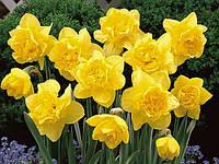 Нарцисс махровый Dick Wilden 2 луковицы, фото 1