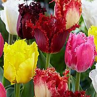 Коллекция бахромчатых тюльпанов 20 сортов 30 луковиц/уп.