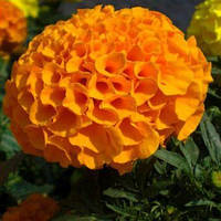 Семена Бархатцы американские Чикаго Orange Оранжевые 500 семян Kitano Seeds