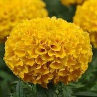 Семена Бархатцы прямостоячие Тайшан Лимонные F1 ,100 семян Pan American
