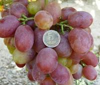 Саженцы винограда Анита