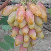 Саженцы винограда Диксон