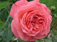 Роза флорибунда Шакенборг, фото 1