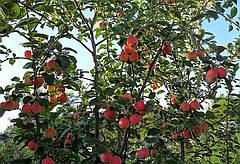 Технология подкормки яблони