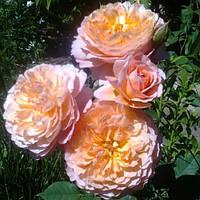 Роза шраб Роз де Жерберуа