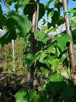 Betula utilis,  Береза полезная, береза гималайская