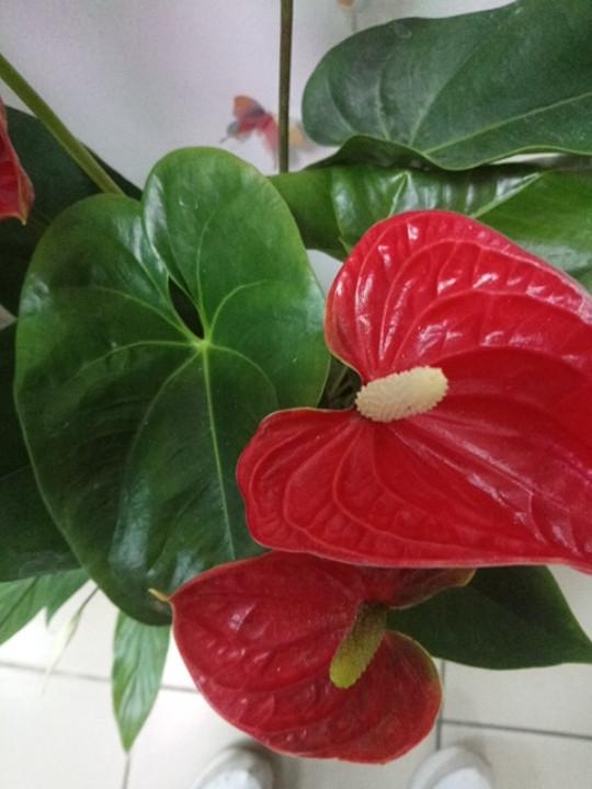Горшечное растение Антуриум Андре (Мужское счастье)