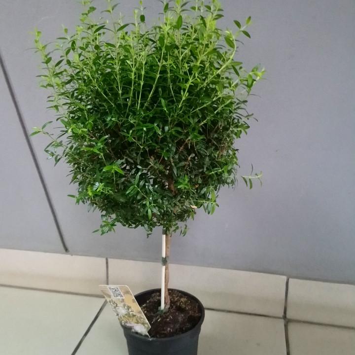 Горшочное растение Мирт. Миртовое дерево