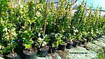Виноград триостренный, Parthenocissus tricuspidata 'Veitchii', 50 см, фото 7
