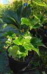 Виноград триостренный, Parthenocissus tricuspidata 'Veitchii', 50 см, фото 8