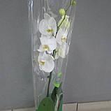 Горшечное растение Орхидея Фаленопсис, фото 2