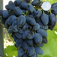 Виноград Викинг  (контейнер 4 л, саженец 40-50 см)