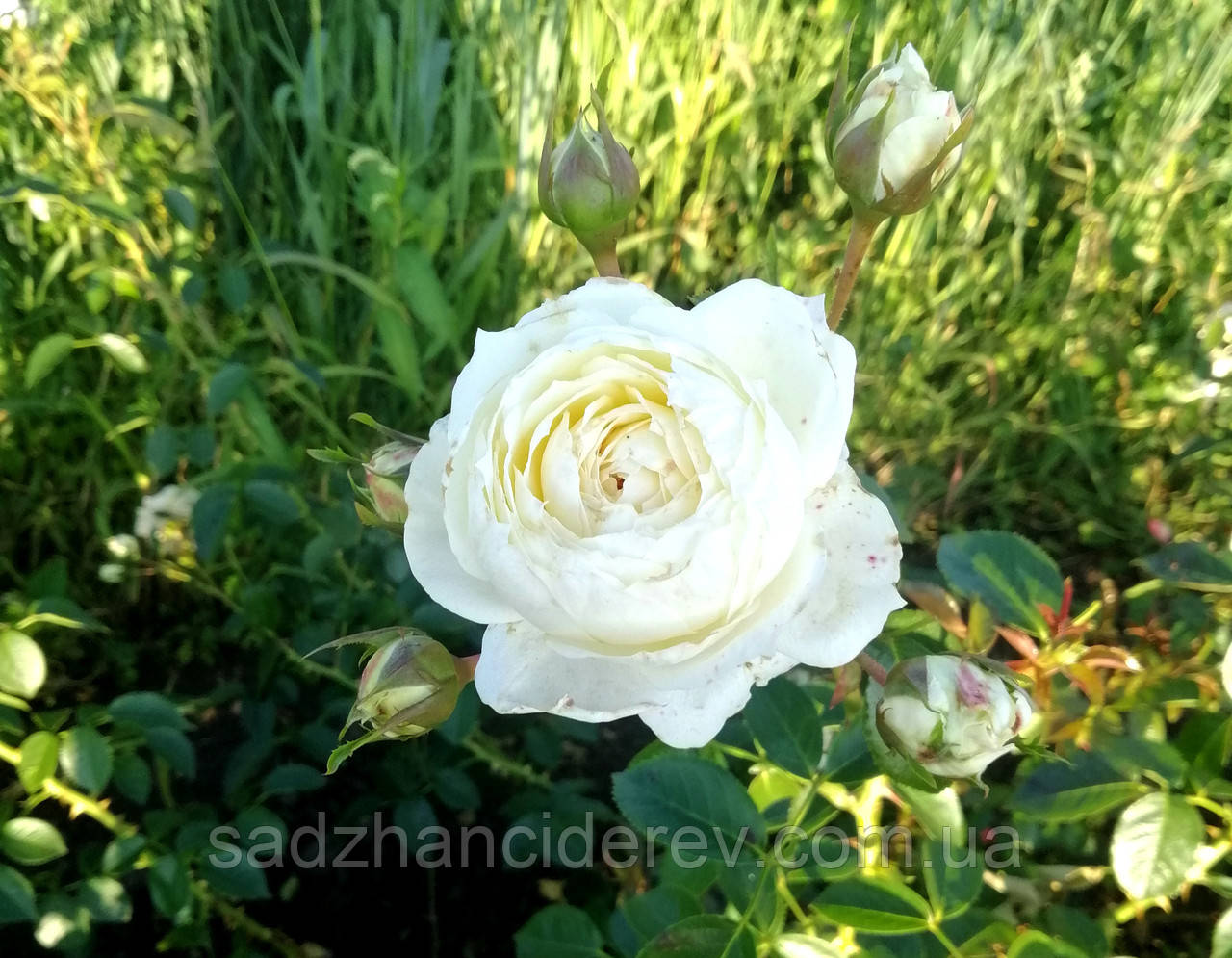 Саджанці троянд Mon Jardin et Ma Maison