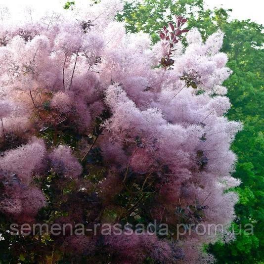 Скумпия кожевенная Пурпуреус (контейнер 1 л, высота растния 20-25 см)