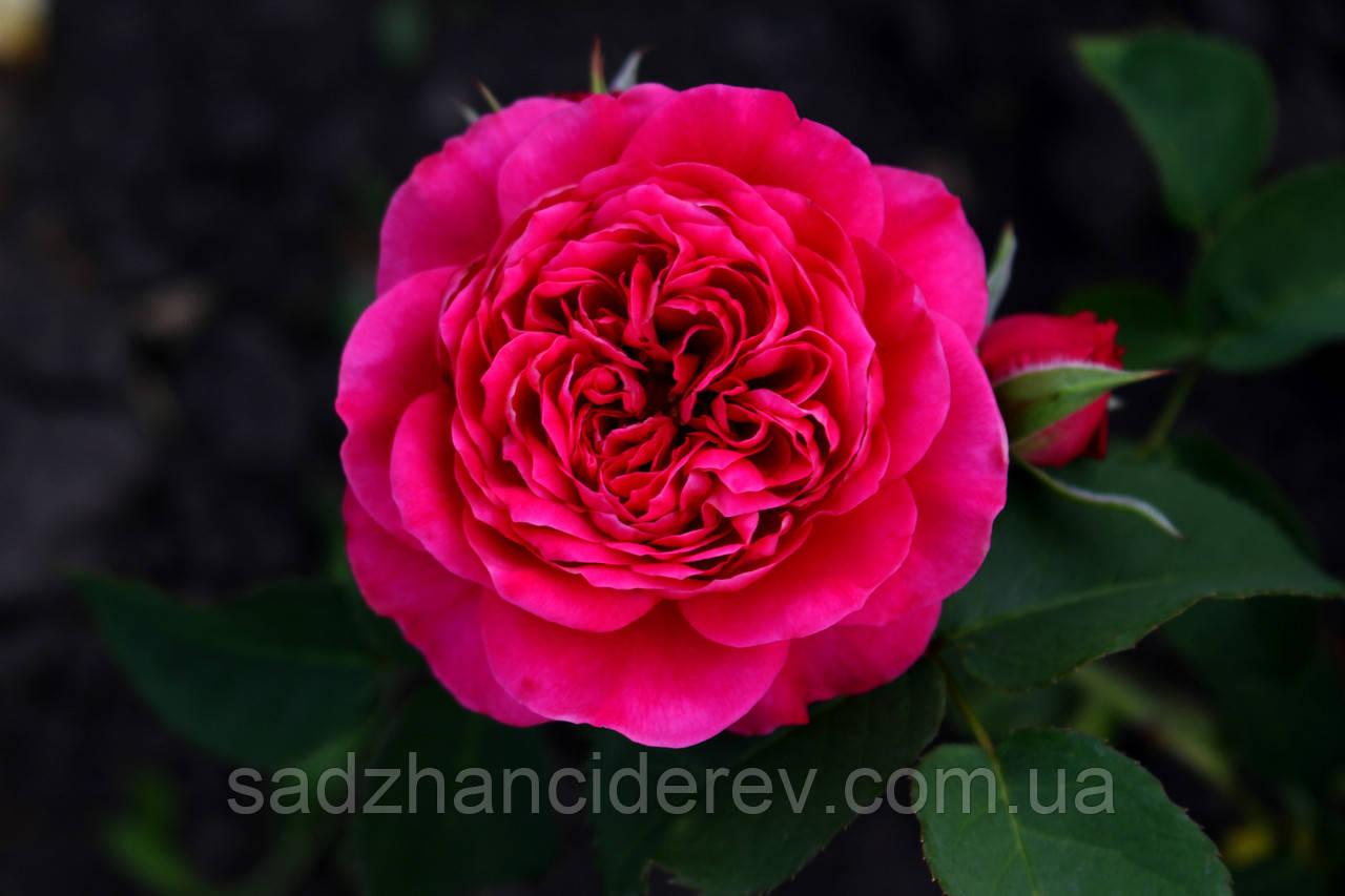Саджанці троянд Дарсі Бассел (Darcey Bussell)