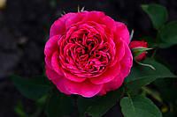 Саджанці троянд Дарсі Бассел (Darcey Bussell), фото 1