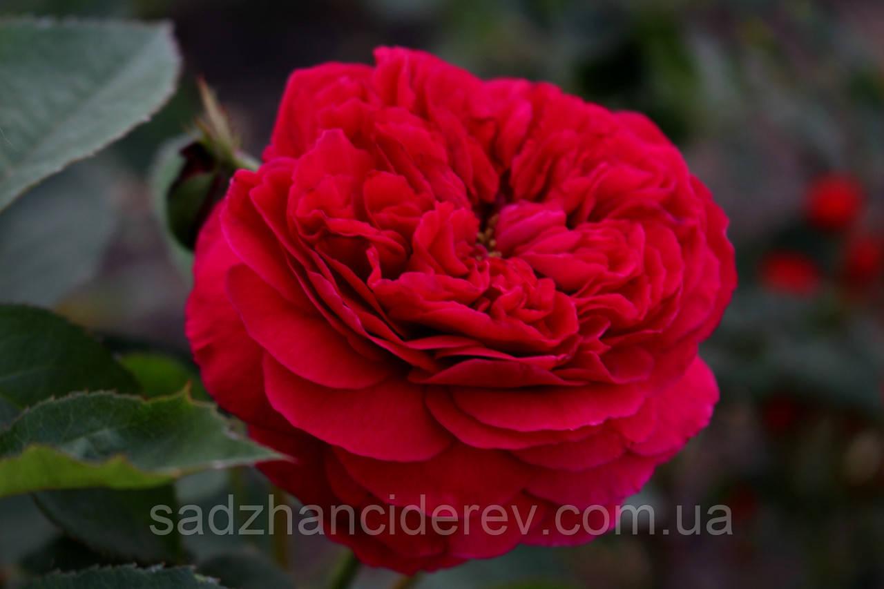 Саджанці троянд Falstaff (Фальстаф)