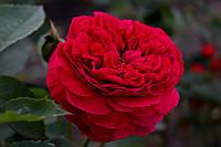 Саджанці троянд Falstaff (Фальстаф), фото 1