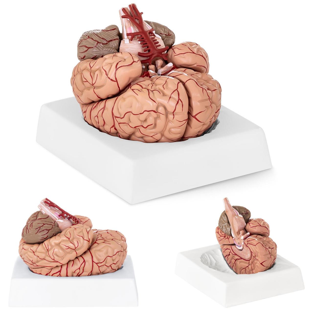 Анатомические модели элементов головного мозга человека 9 по соотношению 1: 1