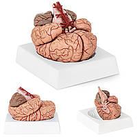 Анатомические модели элементов головного мозга человека 9 по соотношению 1: 1, фото 1
