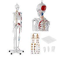 Анатомическая модель человеческого скелета 180 см + анатомический плакат, фото 1