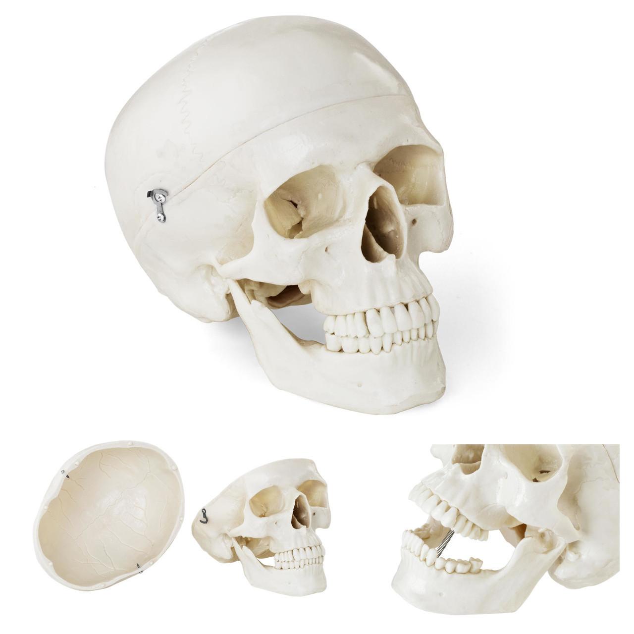 Анатомическая модель человеческого черепа по соотношению 1: 1