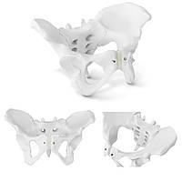 Анатомическая модель женского таза человека в масштабе 1: 1, фото 1