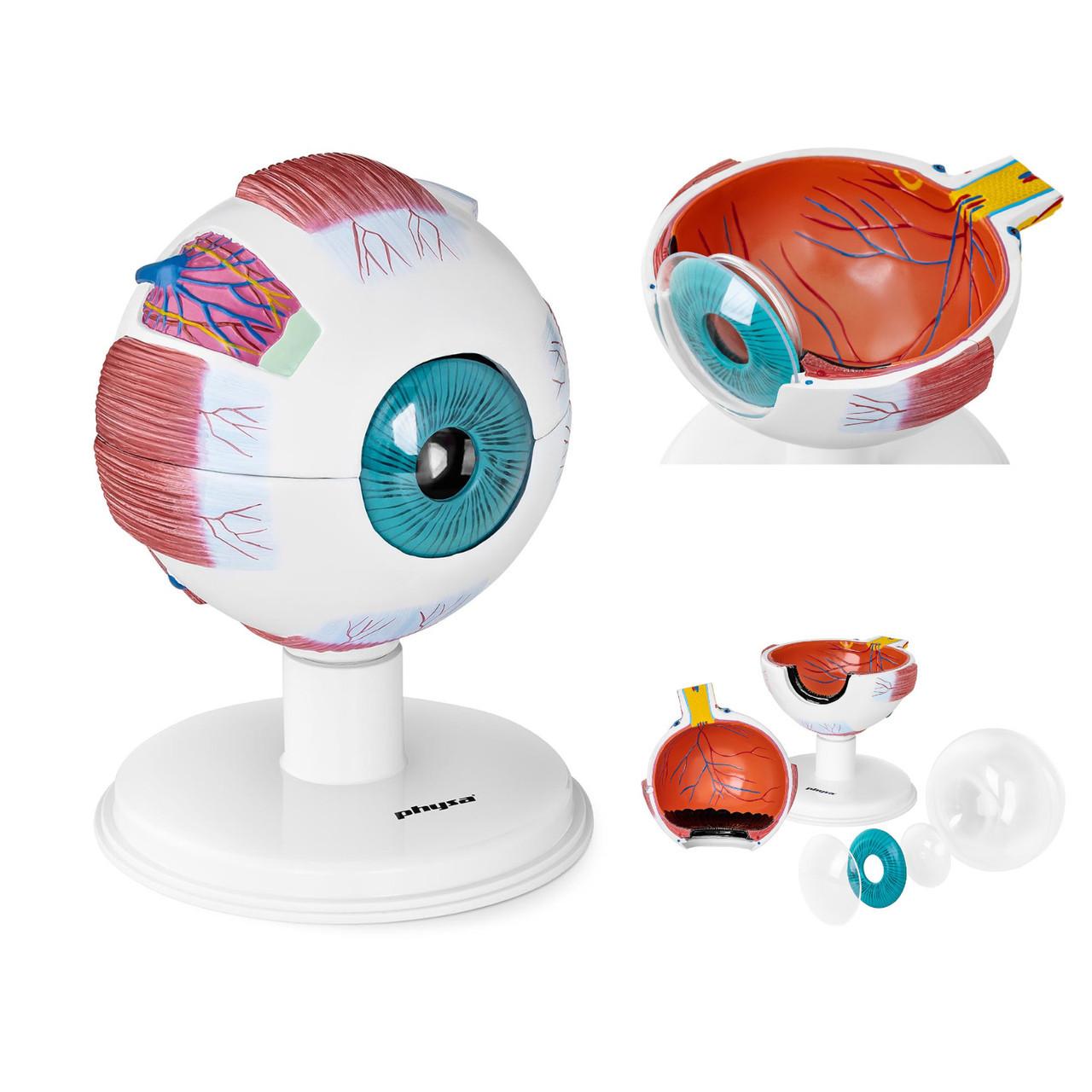 Анатомические модели человеческого глаза из элементов глаз 6:1