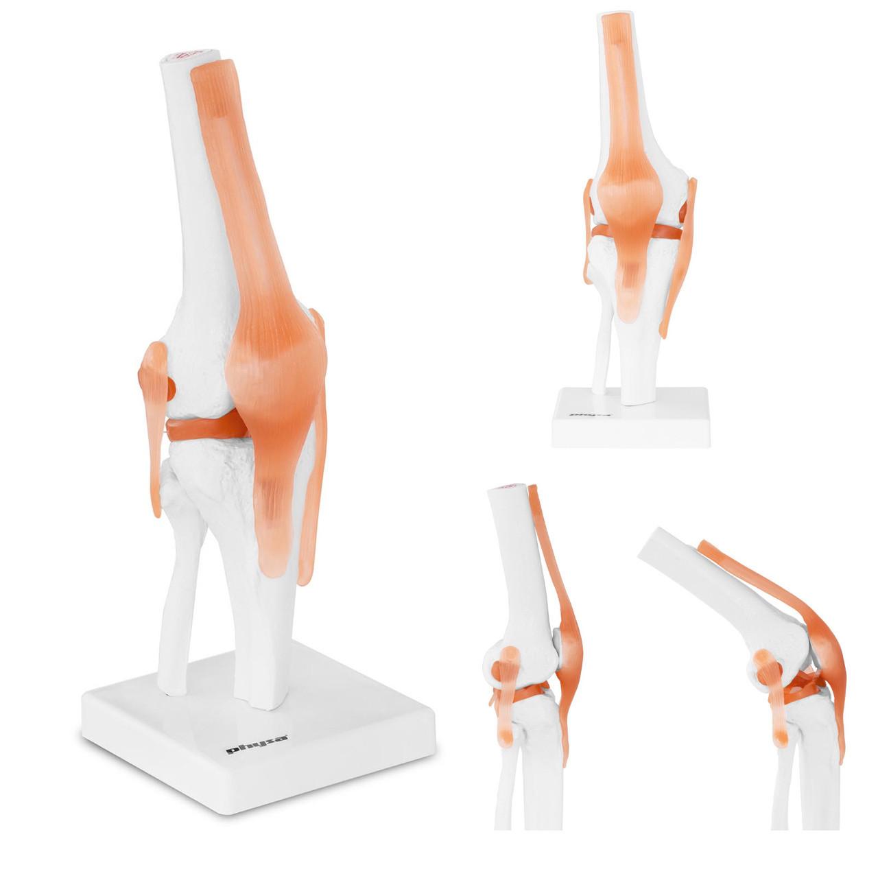 Анатомическая модель колена в масштабе 1: 1