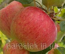 Яблуня Пірос. (Б7-35). (ввв/кр). Літній сорт
