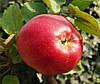 Саженцы яблони Деличия. (ММ.106) Осенний сорт.