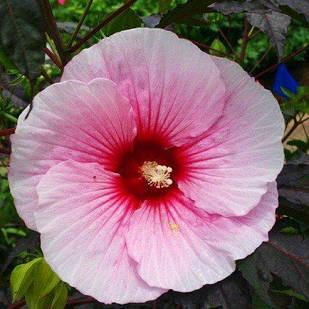 Саджанці Гібіскуса сирійського Рожевий (Hibiscus syriacus)
