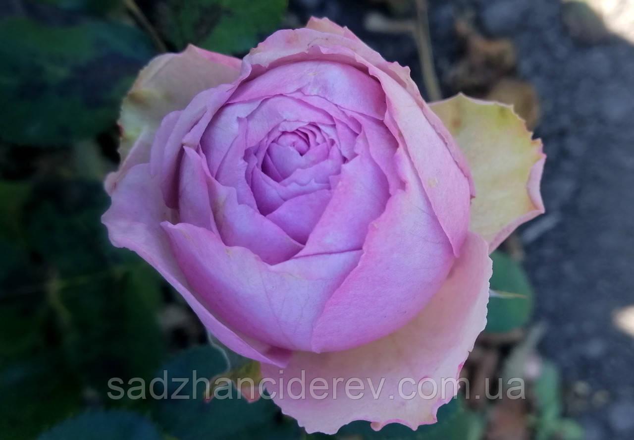 Саджанці троянд Блоссом Бабблс (Blossom Bubbles)