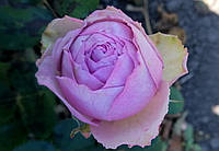 Саджанці троянд Блоссом Бабблс (Blossom Bubbles), фото 1
