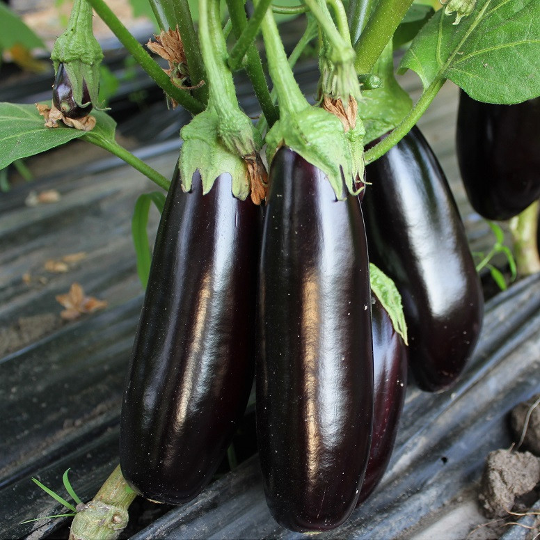 Семена баклажана  Честер F1 (100 сем.) Ergon