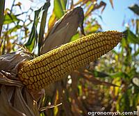 Протруєння насіння кукурудзи - запорука високої врожайності
