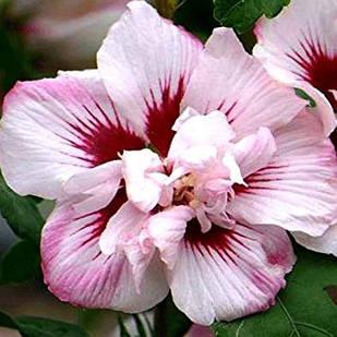 Саженцы Гибискуса сирийского махрового  Леди Стенли (Hibiscus syriacus Lady Stanley)