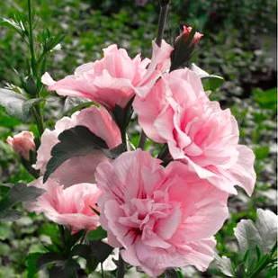 Саджанці Гібіскуса сирійського Пінк Шифон (Hibiscus Pink Chiffon)