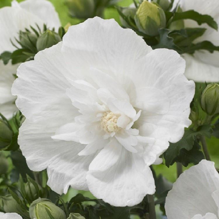 Гибискус сирийский  Вайт Шифон (Hibiscus syriacus White chiffon)