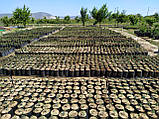 Саженцы фисташки (Pistacia vera), фото 2